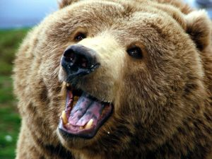 Grizzly-Bear-Widescreen-Photo