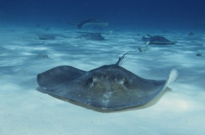Southern_stingrays_at_stingray_city